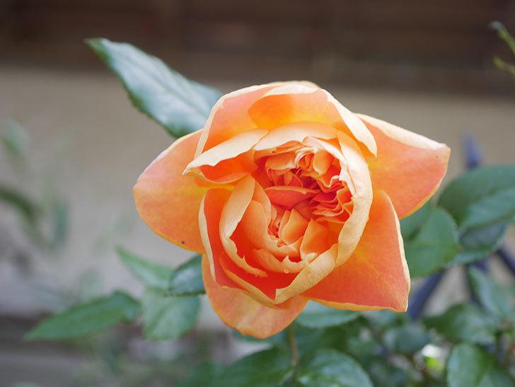 ランタン・シトロイユ(Lanterne Citrouille)の花が咲いた。半ツルバラ。2021年-020.jpg