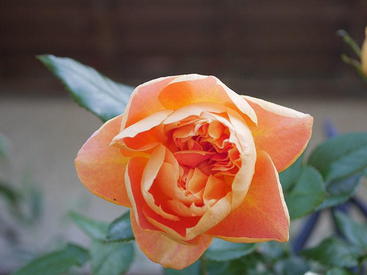 ランタン・シトロイユ(Lanterne Citrouille)の花が咲いた。半ツルバラ。2021年-021.jpg