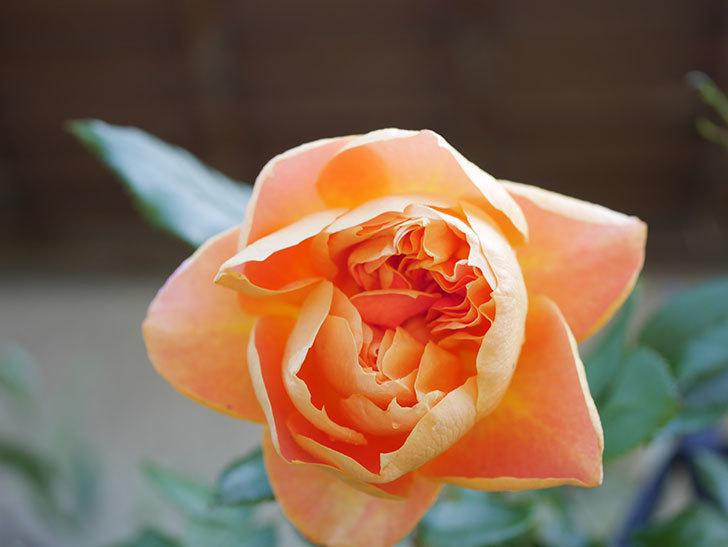 ランタン・シトロイユ(Lanterne Citrouille)の花が咲いた。半ツルバラ。2021年-022.jpg