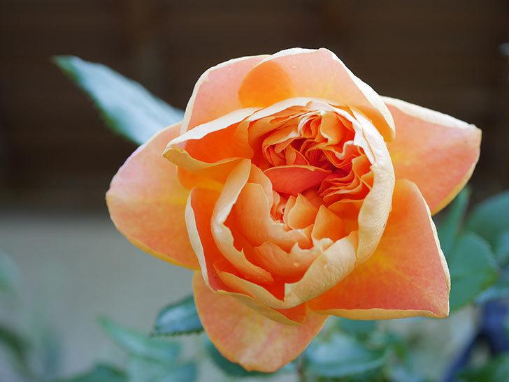 ランタン・シトロイユ(Lanterne Citrouille)の花が咲いた。半ツルバラ。2021年-023.jpg