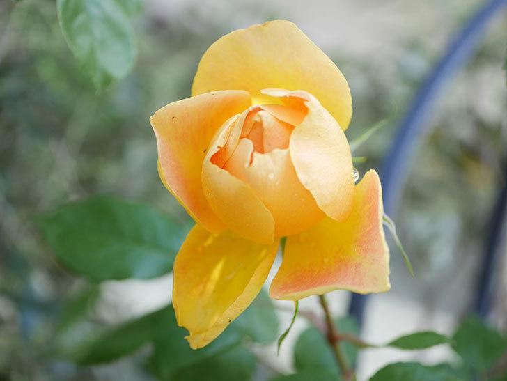 ランタン・シトロイユ(Lanterne Citrouille)の花が咲いた。半ツルバラ。2021年-024.jpg