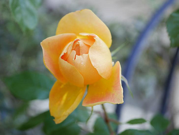 ランタン・シトロイユ(Lanterne Citrouille)の花が咲いた。半ツルバラ。2021年-025.jpg