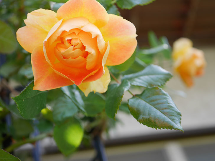 ランタン・シトロイユ(Lanterne Citrouille)の花が咲いた。半ツルバラ。2021年-027.jpg