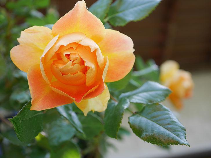 ランタン・シトロイユ(Lanterne Citrouille)の花が咲いた。半ツルバラ。2021年-028.jpg