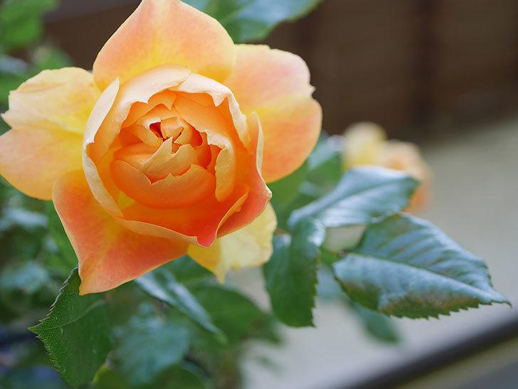 ランタン・シトロイユ(Lanterne Citrouille)の花が咲いた。半ツルバラ。2021年-029.jpg