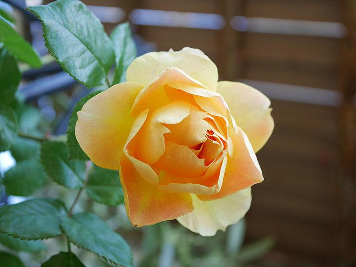 ランタン・シトロイユ(Lanterne Citrouille)の花が咲いた。半ツルバラ。2021年-030.jpg