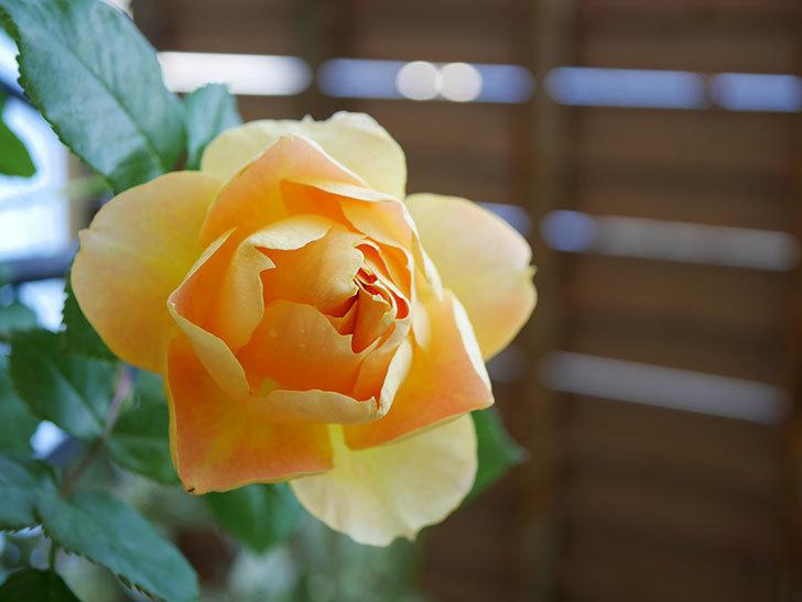 ランタン・シトロイユ(Lanterne Citrouille)の花が咲いた。半ツルバラ。2021年-031.jpg