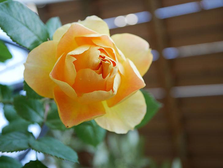 ランタン・シトロイユ(Lanterne Citrouille)の花が咲いた。半ツルバラ。2021年-032.jpg