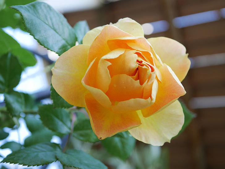 ランタン・シトロイユ(Lanterne Citrouille)の花が咲いた。半ツルバラ。2021年-033.jpg