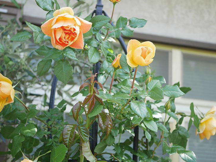 ランタン・シトロイユ(Lanterne Citrouille)の花が咲いた。半ツルバラ。2021年-034.jpg