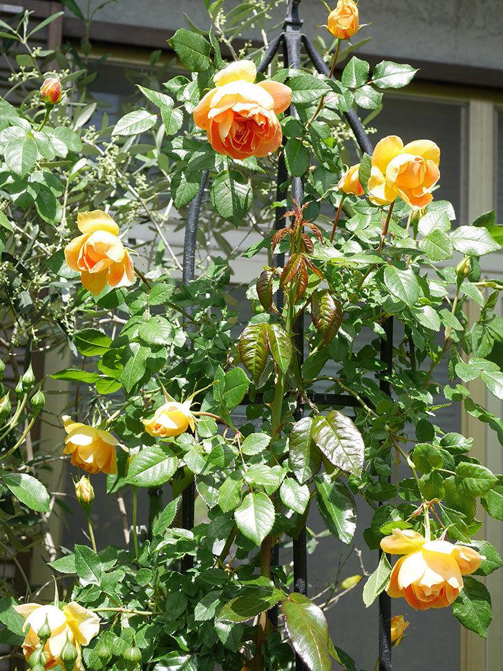 ランタン・シトロイユ(Lanterne Citrouille)の花が咲いた。半ツルバラ。2021年-037.jpg