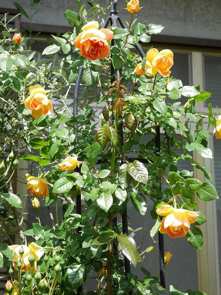 ランタン・シトロイユ(Lanterne Citrouille)の花が咲いた。半ツルバラ。2021年-038.jpg