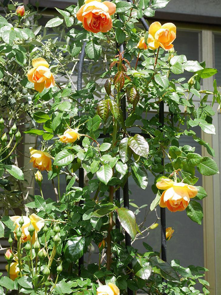 ランタン・シトロイユ(Lanterne Citrouille)の花が咲いた。半ツルバラ。2021年-039.jpg