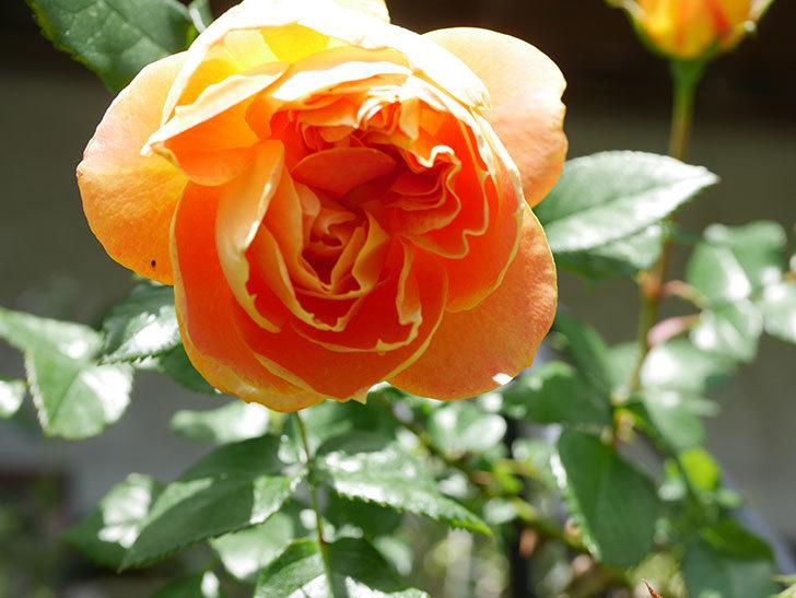 ランタン・シトロイユ(Lanterne Citrouille)の花が咲いた。半ツルバラ。2021年-040.jpg