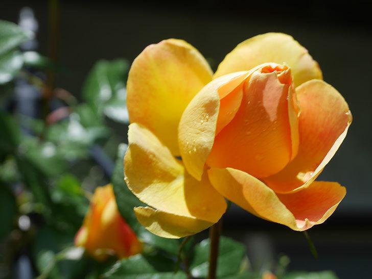 ランタン・シトロイユ(Lanterne Citrouille)の花が咲いた。半ツルバラ。2021年-043.jpg