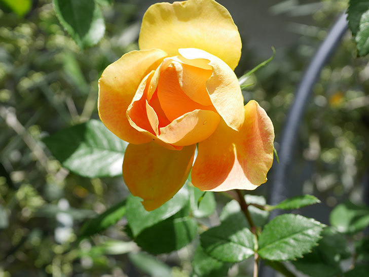 ランタン・シトロイユ(Lanterne Citrouille)の花が咲いた。半ツルバラ。2021年-044.jpg