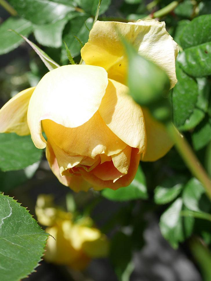 ランタン・シトロイユ(Lanterne Citrouille)の花が咲いた。半ツルバラ。2021年-046.jpg