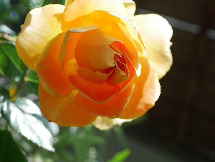 ランタン・シトロイユ(Lanterne Citrouille)の花が咲いた。半ツルバラ。2021年-051.jpg