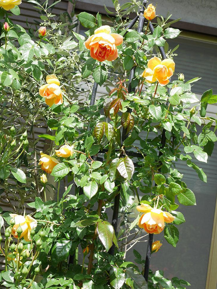 ランタン・シトロイユ(Lanterne Citrouille)の花が咲いた。半ツルバラ。2021年-052.jpg
