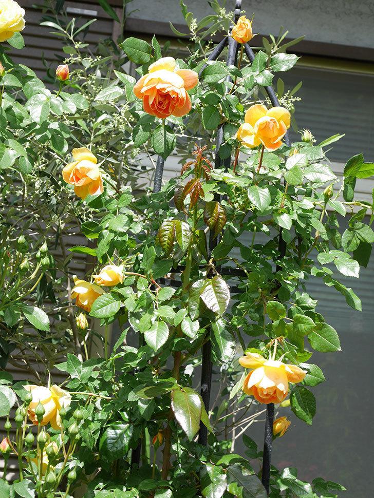 ランタン・シトロイユ(Lanterne Citrouille)の花が咲いた。半ツルバラ。2021年-053.jpg