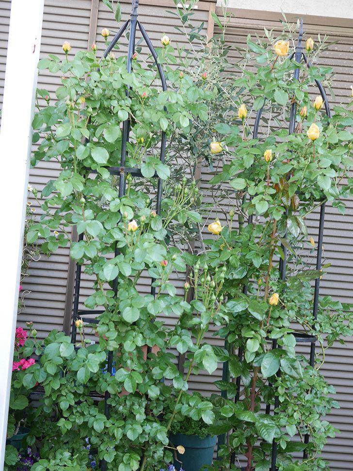 ランタン・シトロイユ(Lanterne Citrouille)の花が少し咲いた。半ツルバラ。2021年-001.jpg