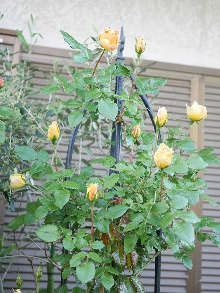 ランタン・シトロイユ(Lanterne Citrouille)の花が少し咲いた。半ツルバラ。2021年-002.jpg