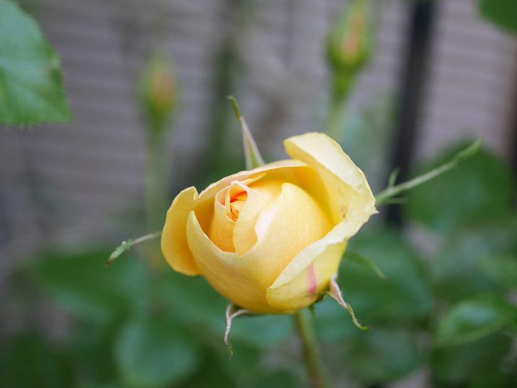 ランタン・シトロイユ(Lanterne Citrouille)の花が少し咲いた。半ツルバラ。2021年-004.jpg