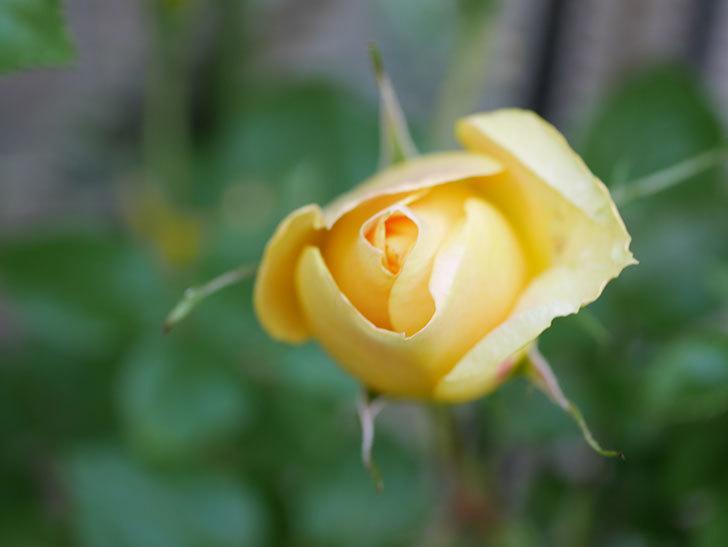ランタン・シトロイユ(Lanterne Citrouille)の花が少し咲いた。半ツルバラ。2021年-005.jpg