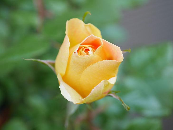 ランタン・シトロイユ(Lanterne Citrouille)の花が少し咲いた。半ツルバラ。2021年-006.jpg