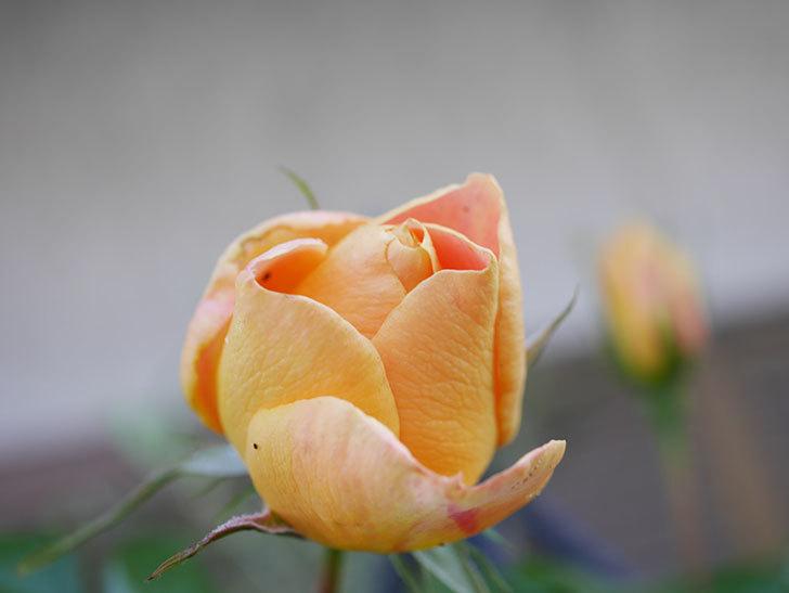 ランタン・シトロイユ(Lanterne Citrouille)の花が少し咲いた。半ツルバラ。2021年-009.jpg