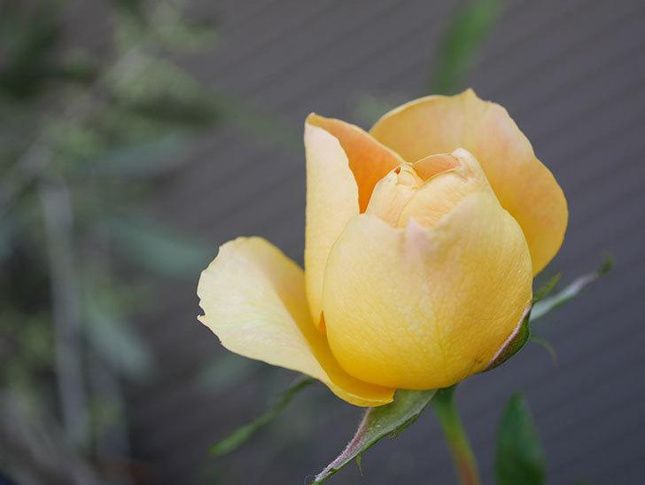 ランタン・シトロイユ(Lanterne Citrouille)の花が少し咲いた。半ツルバラ。2021年-010.jpg