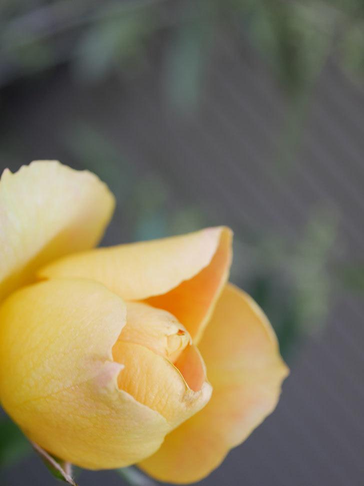 ランタン・シトロイユ(Lanterne Citrouille)の花が少し咲いた。半ツルバラ。2021年-011.jpg