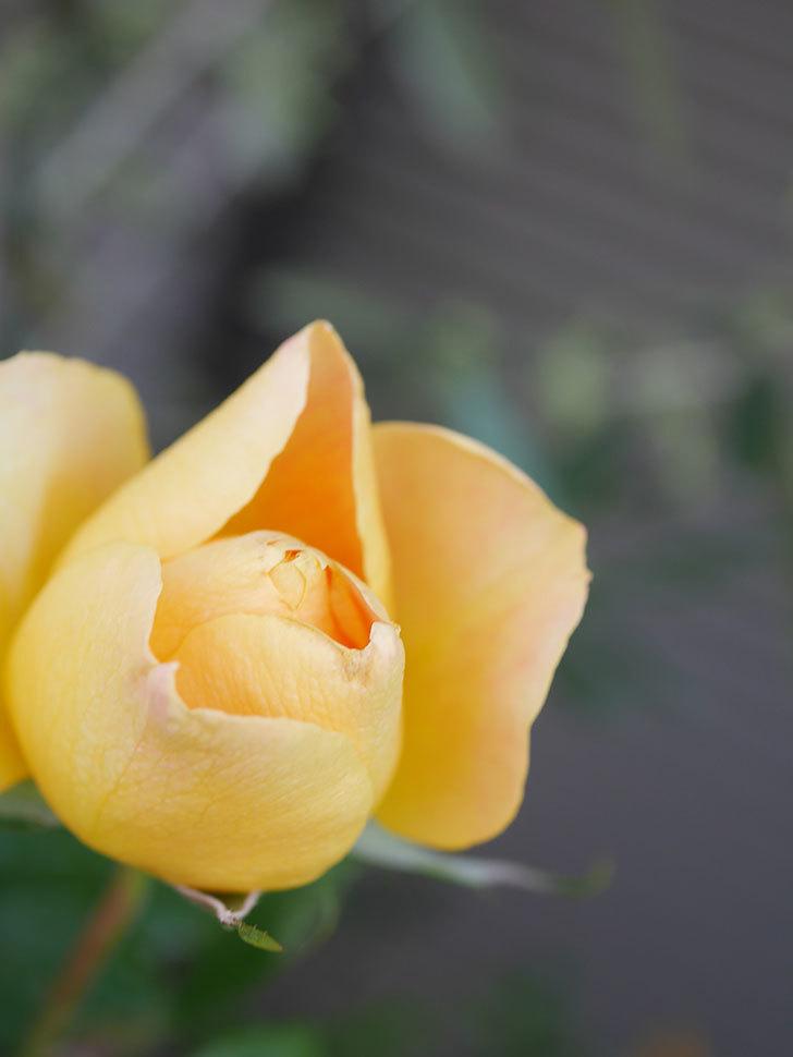ランタン・シトロイユ(Lanterne Citrouille)の花が少し咲いた。半ツルバラ。2021年-012.jpg