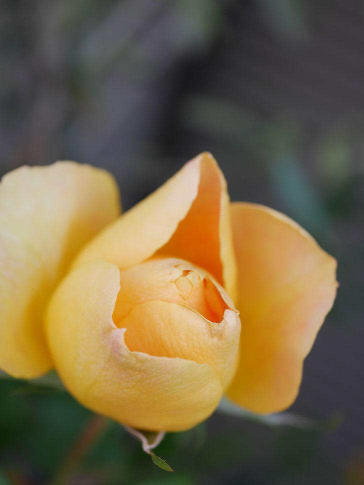 ランタン・シトロイユ(Lanterne Citrouille)の花が少し咲いた。半ツルバラ。2021年-013.jpg