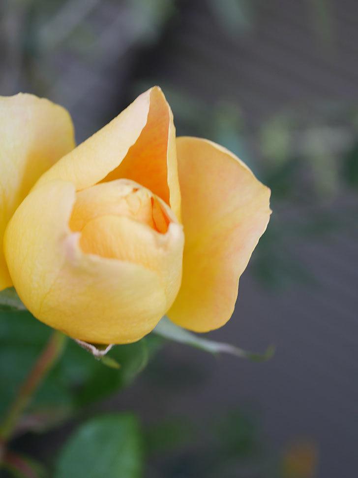 ランタン・シトロイユ(Lanterne Citrouille)の花が少し咲いた。半ツルバラ。2021年-014.jpg