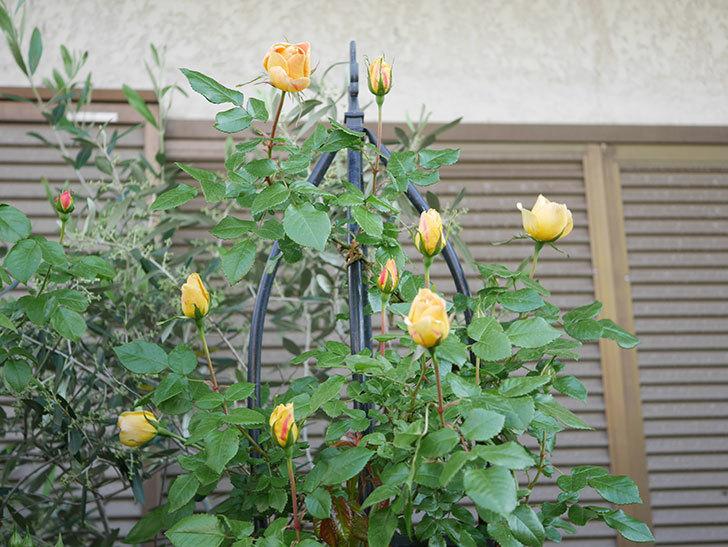 ランタン・シトロイユ(Lanterne Citrouille)の花が少し咲いた。半ツルバラ。2021年-016.jpg