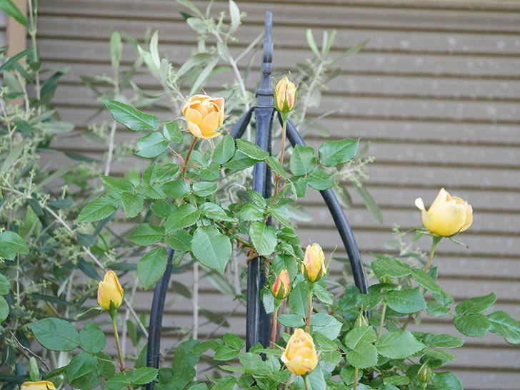 ランタン・シトロイユ(Lanterne Citrouille)の花が少し咲いた。半ツルバラ。2021年-017.jpg