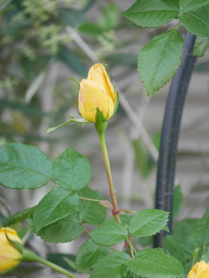 ランタン・シトロイユ(Lanterne Citrouille)の花が少し咲いた。半ツルバラ。2021年-018.jpg