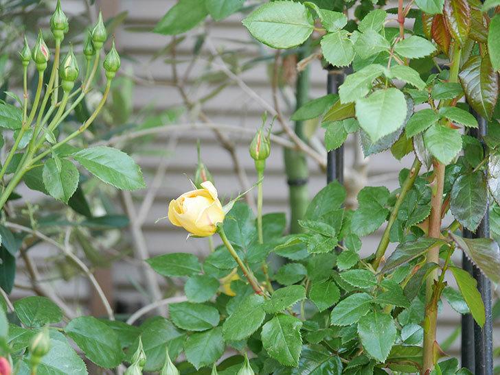 ランタン・シトロイユ(Lanterne Citrouille)の花が少し咲いた。半ツルバラ。2021年-019.jpg