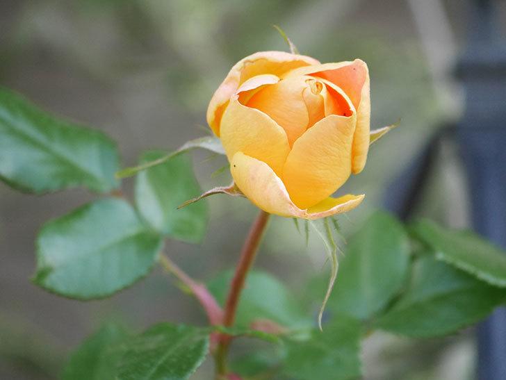 ランタン・シトロイユ(Lanterne Citrouille)の花が少し咲いた。半ツルバラ。2021年-022.jpg