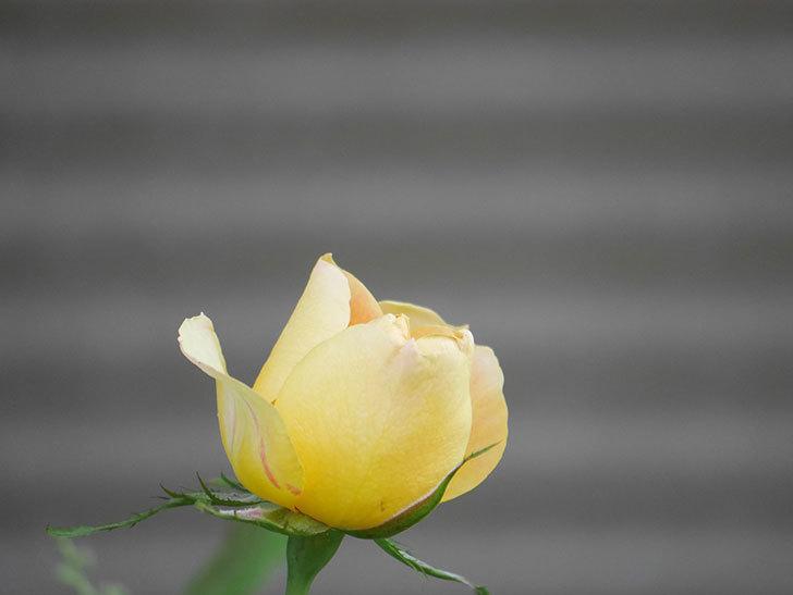ランタン・シトロイユ(Lanterne Citrouille)の花が少し咲いた。半ツルバラ。2021年-024.jpg