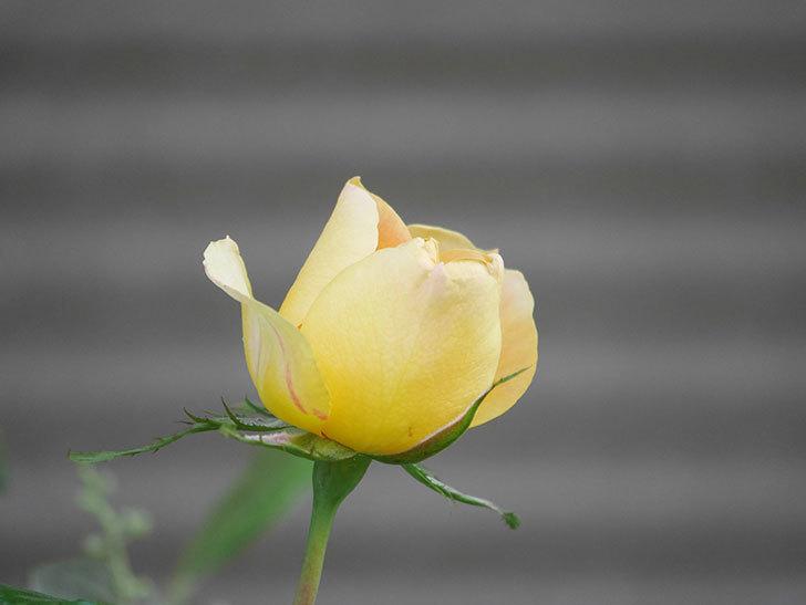 ランタン・シトロイユ(Lanterne Citrouille)の花が少し咲いた。半ツルバラ。2021年-025.jpg