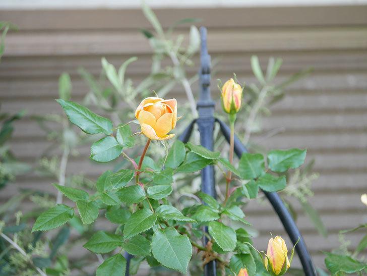 ランタン・シトロイユ(Lanterne Citrouille)の花が少し咲いた。半ツルバラ。2021年-026.jpg