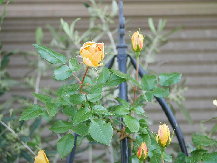 ランタン・シトロイユ(Lanterne Citrouille)の花が少し咲いた。半ツルバラ。2021年-027.jpg