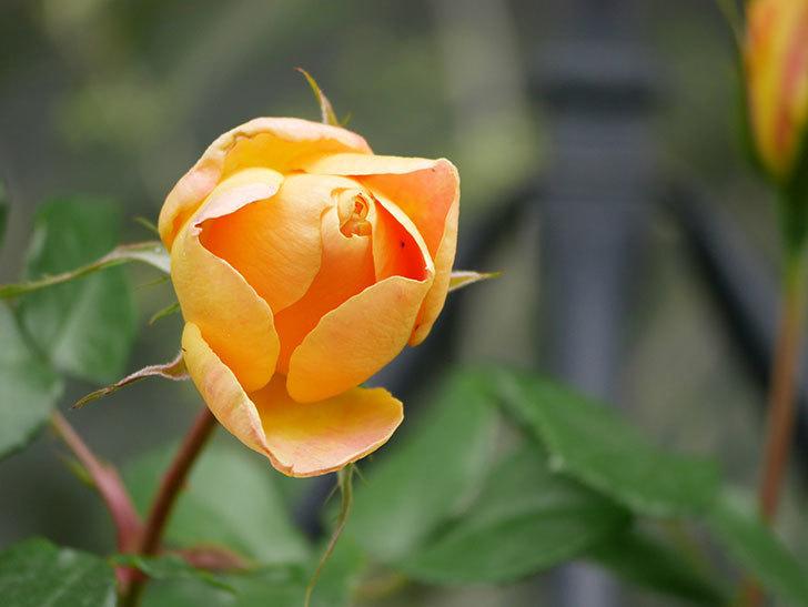 ランタン・シトロイユ(Lanterne Citrouille)の花が少し咲いた。半ツルバラ。2021年-029.jpg