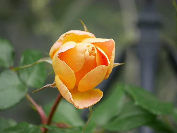 ランタン・シトロイユ(Lanterne Citrouille)の花が少し咲いた。半ツルバラ。2021年-030.jpg