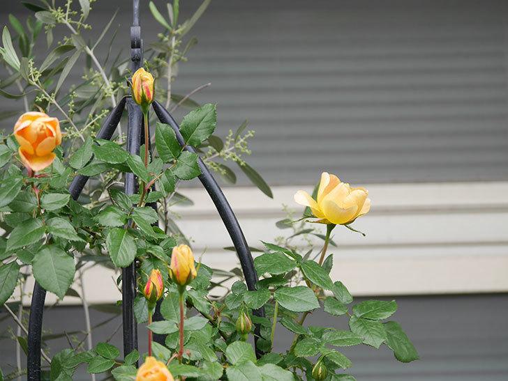 ランタン・シトロイユ(Lanterne Citrouille)の花が少し咲いた。半ツルバラ。2021年-032.jpg