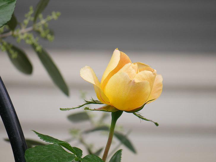 ランタン・シトロイユ(Lanterne Citrouille)の花が少し咲いた。半ツルバラ。2021年-033.jpg
