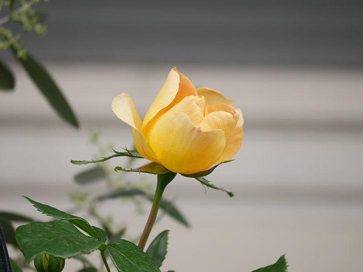 ランタン・シトロイユ(Lanterne Citrouille)の花が少し咲いた。半ツルバラ。2021年-034.jpg