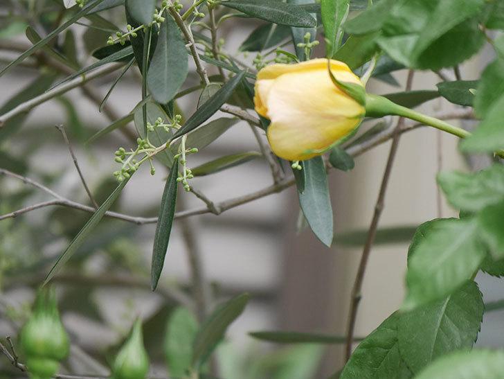 ランタン・シトロイユ(Lanterne Citrouille)の花が少し咲いた。半ツルバラ。2021年-036.jpg